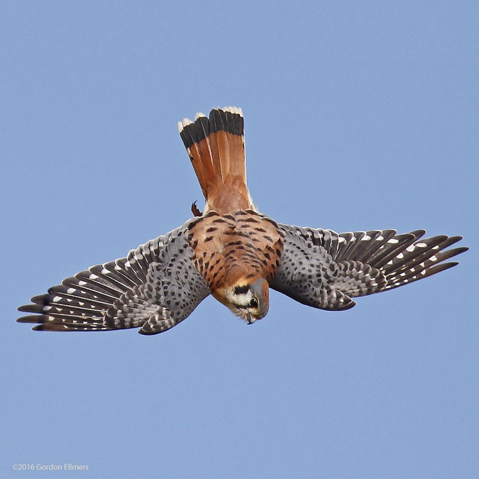 American Kestrel, Smallest Falcon in North America