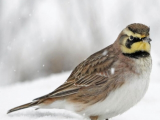 Horned Lark taking a Snow Bath in NY State Grasslands
