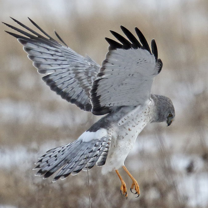 Northern Harrier, NYS Threatened Species