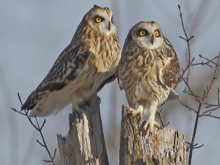 Short-eared Owl, NY State Endangered Species