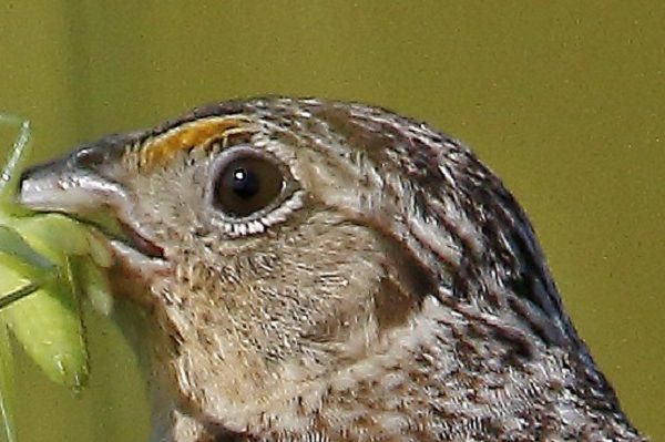Savannah sparrow with grasshopper