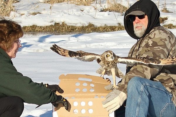 Short eared owl being released