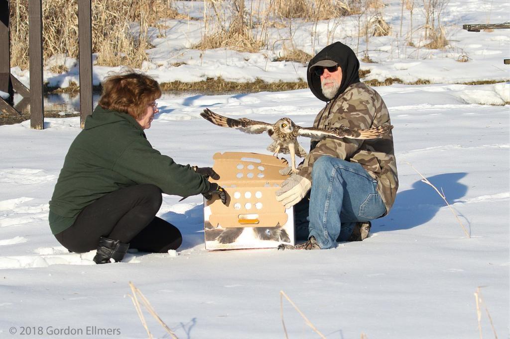 Releasing Short-eared Owl in winter