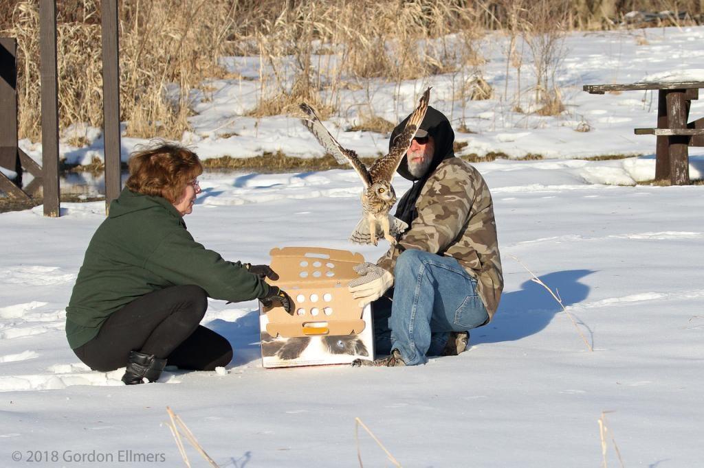 Releasing Short-eared Owl in winter from box