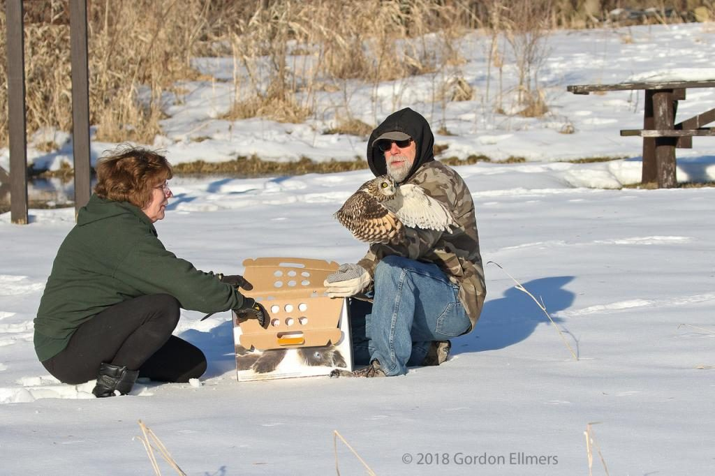 Releasing Short-eared Owl in winter from box on snow