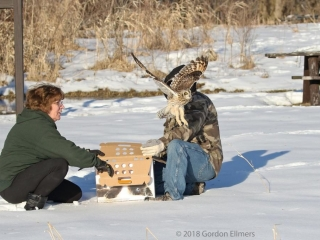 Releasing Short-eared Owl from box