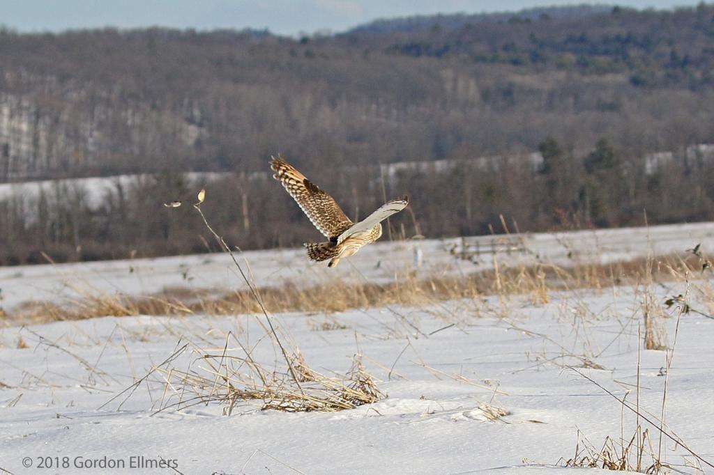 Short-eared Owl flying away in field
