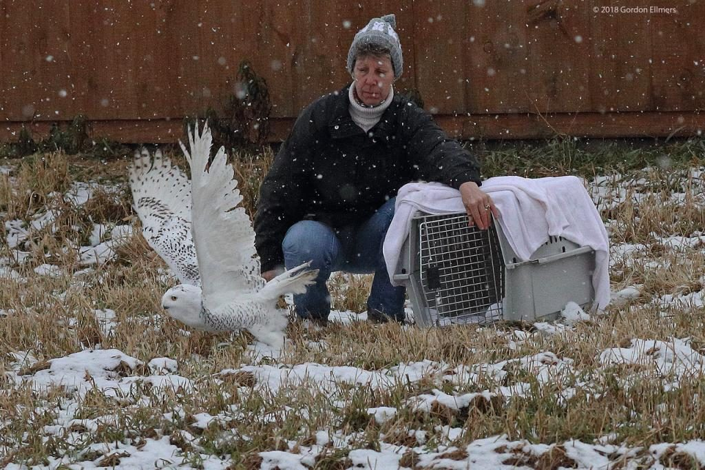 Snowy Owl Release from cage