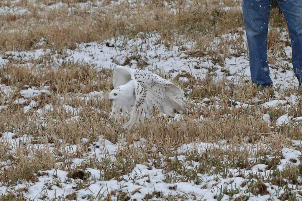 Snowy Owl Release flying close to the ground