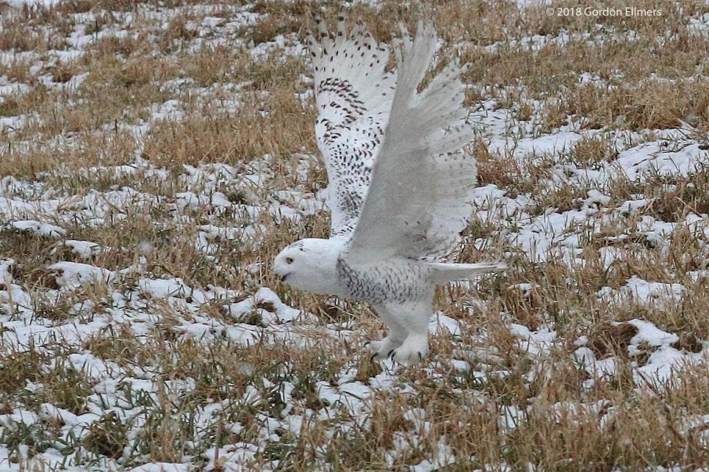 Snowy Owl  flying close to the ground