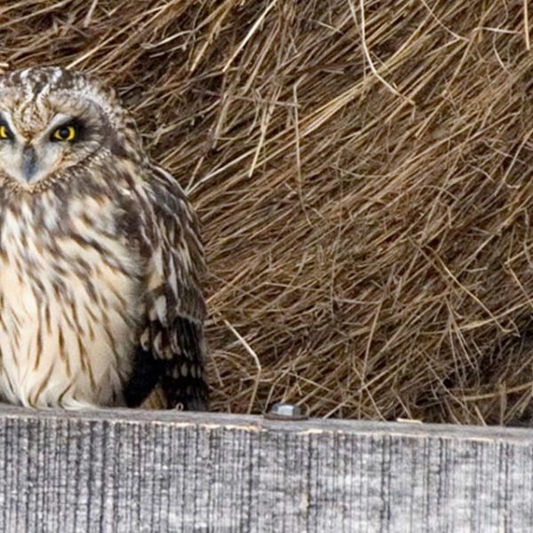 Short-eared Owls on hay wagon