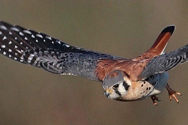 kestral Hawk