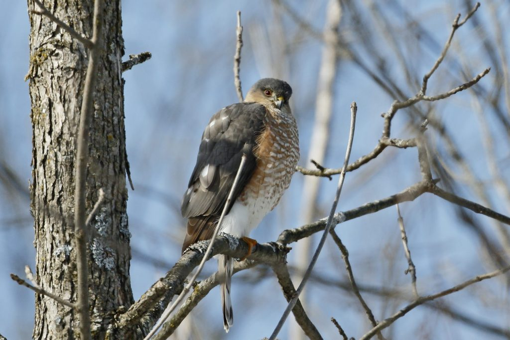 Coopers Hawk in a tree