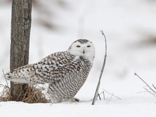 Snowy Owl on the snow